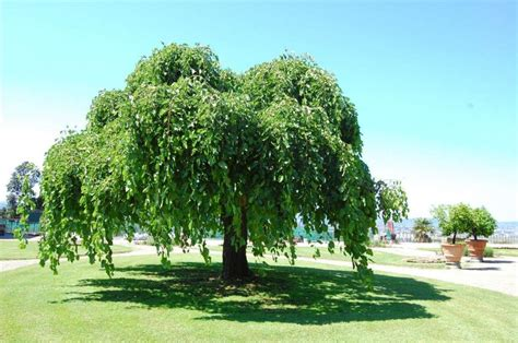 alberi per giardino alberi da giardino sempreverdi da ombra missionmeltdown