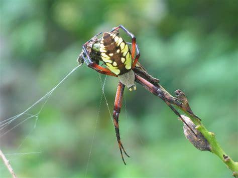 Garden Spider Green by Green And Yellow Garden Spider Argiope Aurantia