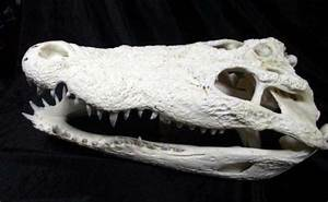 Alligator Skull | eBay