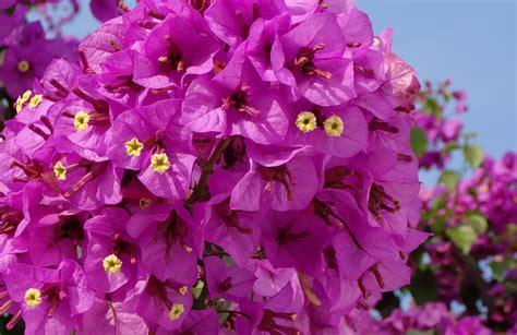 exceptional arrosage du bougainvillier en pot 6 au jardin conseils en jardinage sedgu