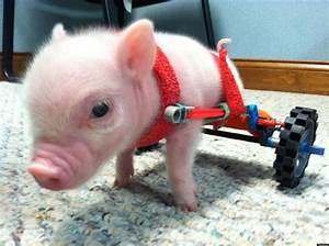 Chris  P Bacon  Disabled Pig  Charms With Tiny Wheelchair