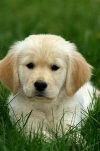 Golden Retriever. Cutest puppies! | Sweetest dogs ever ...