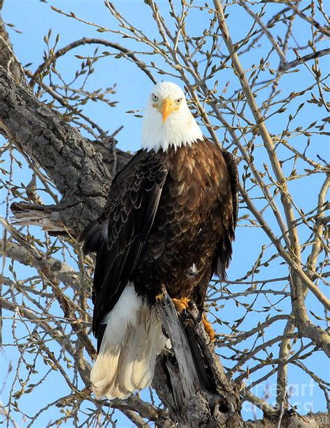 Can I See Picture of Bald Eagle