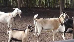 Bodes E Cabras Do Sert U00c3o