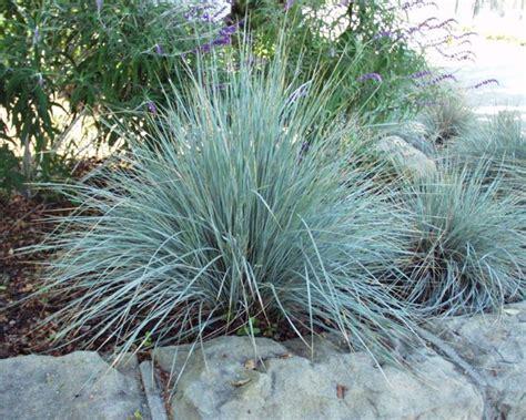 blue oat grass great design plant blue oat grass