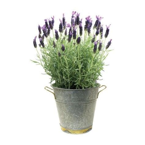 lavender potted plants pin by k kania on purple wedding pinterest