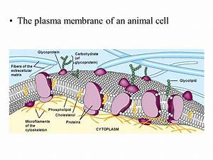 MEMBRANES, DIFFUSION, OSMOSIS, ACTIVE TRANSPORT, ETC ...