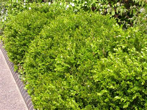 green shrubs best shrubs