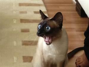 surprised cat - Google Search | Surprised Cat Faces ...