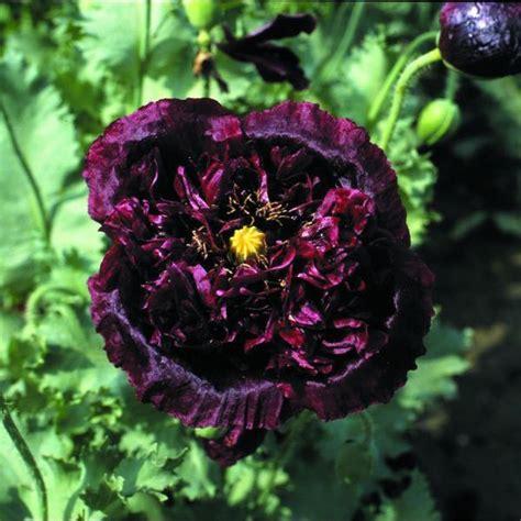 black poppy flower kings seeds flower seeds vegetable seeds a leading supplier of vegetable seeds and flower