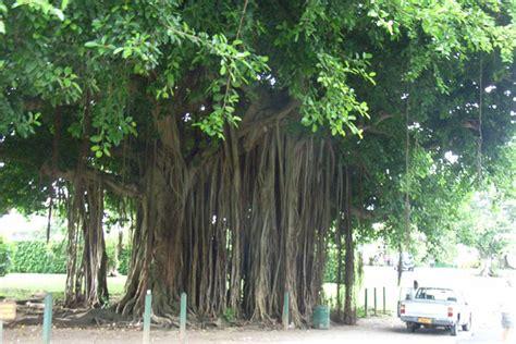 Banjo tree in botanical garden