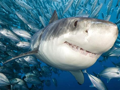 great white shark accompanied   flock  fish wallpaper