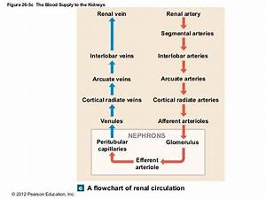 Renal Circulation