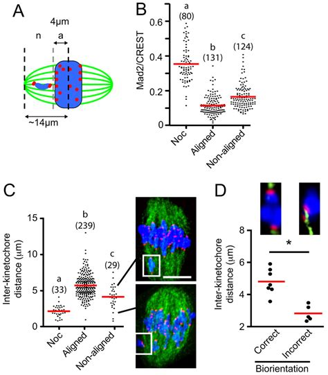 timing  anaphase promoting complex activation  mouse