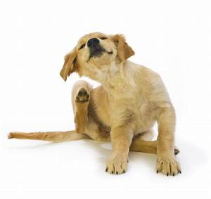 Puce De Chien : les puces chez le chien parasites et maladies ~ Melissatoandfro.com Idées de Décoration