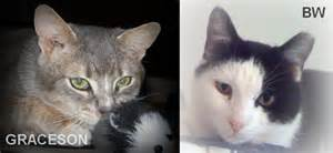what is fiv in cats fiv cats can lead a normal whiskers project