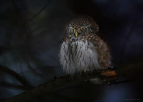 Creepy Owl Wallpapers by Fondos De Pantalla Animales B 250 Ho Aves Profundidad De
