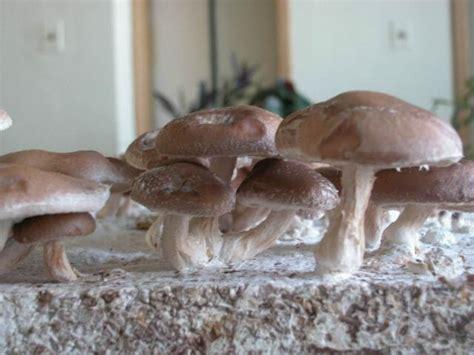 Dārza ABC - Šitaki sēnes - sēņu micēlijs - audzēšana mājās