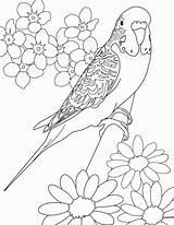 Coloring Parakeet Colouring Bird Printable Birds Drawing Drawings Adults Budgie Sheets Adult Flowers Budgies Mandala Template Parakeets Cartoon Parrot Draw sketch template
