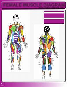Download Female Muscle Diagram For Free