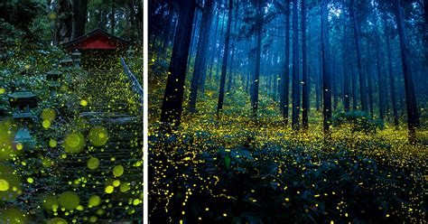 surreal   fireflies  japans  summer