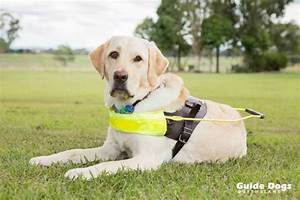 Raising A Guide Dog And Raising Awareness Guide Dogs