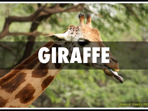 unclean clean animals giraffe