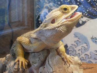 bearded dragon basking light pogona vitticeps care sheet popopogona