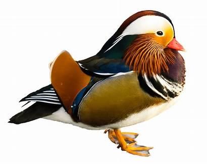 Duck Clipart Bird Water Transparent Mandarin Mallard