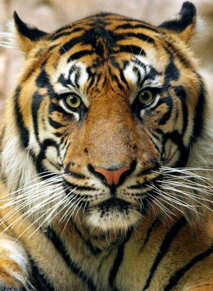 Kipling Dallas Wild Animals Tigre Rugiendo