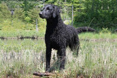 american water spaniel dog breed information
