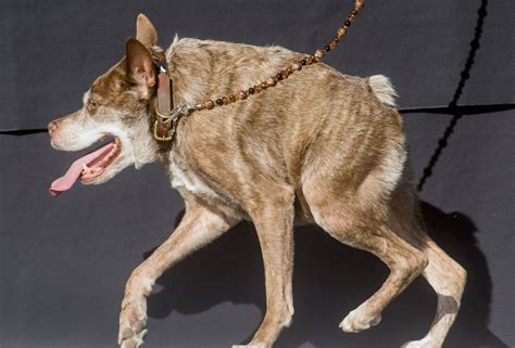 In pictures: World's ugliest dogs are so horrific youll