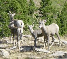 do bighorn sheep shed their horns bighorn sheep