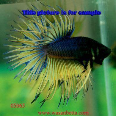 rare betta fish betta     exotic