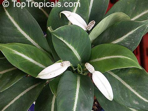 spathiphyllum sp peace toptropicals