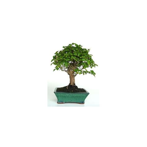 bonsai d interieur facile 28 images bonsa 239 ficus d int 233 rieur 20 25 ans autres marques