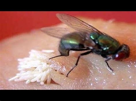 how does a house fly live amazing housefly laying thousand of maggots in few seconds