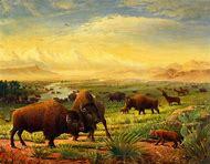 Buffalo Great Plains Landscape