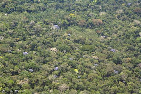 aerial view  flowering canopy trees