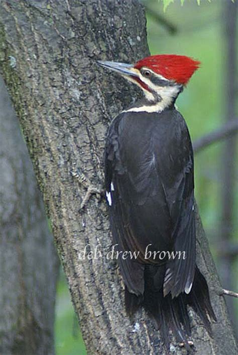 woodpecker pranks 58 best birds bugs by deb drew brown images on bugs insects and software bug