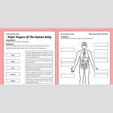 Major Organs Of The Human Body Worksheet  Activity Sheet