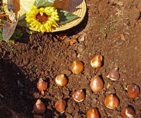 fall bulb planting town country gardening