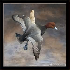 Redhead Duck Taxidermy Mounts