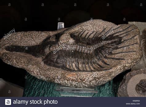 trilobite fossil stock  trilobite fossil stock