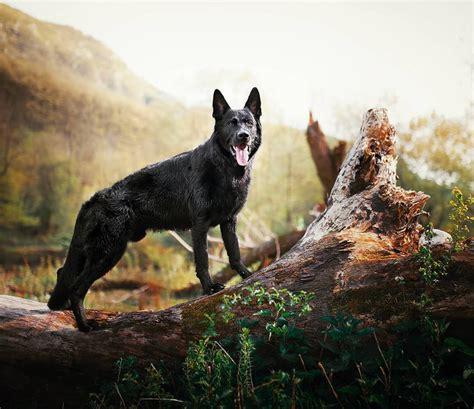Tibetan Mastiff Caucasian Shepherd Dog