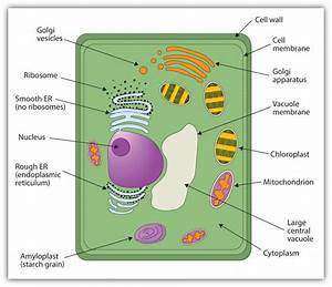 Plant Cell Diagrams For Kids