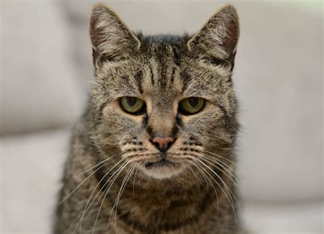 cat expectancy world s oldest cat dies at the age of 32 that s 144 in cat years metro news