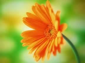 Daisy Flower Desktop