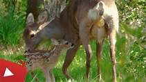 ROE DEER BIRTH WITH TRAGICAL OUTCOME - YouTube