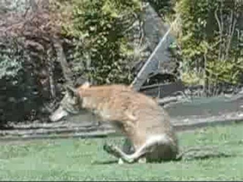 funny coyote   backyard youtube